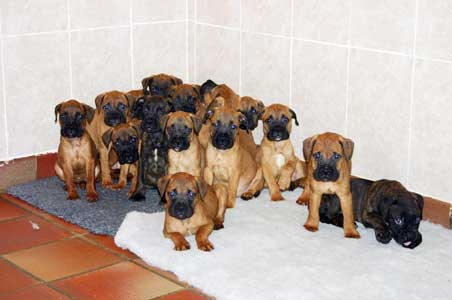 Wellcome to Castro-Castalia Bullmastiffs