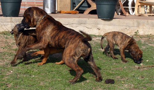 Homeopatia, Castro-Castalia Bullmastiffs
