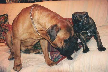 What Makes us Different, Castro-Castalia Bullmastiffs