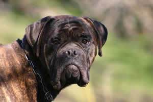 Growth of  Bullmastiff, Castro-Castalia Bullmastiffs